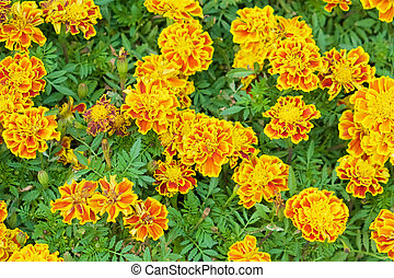 Tagetes erecta or marigold with green leaves