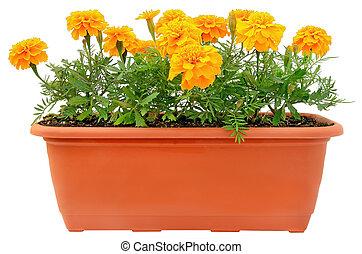 tagetes, flores, en, balcón, maceta