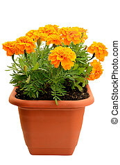 Tagetes flower in balcony flowerpot isolated on white ...