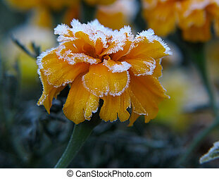 Tagetes Flower under hoar-frost - Yellow Tagetes flower...