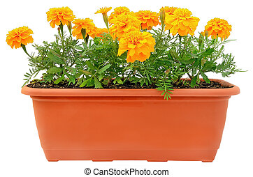 Tagetes flowers in balcony flowerpot isolated on white ...