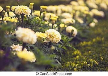 tagetes, francouzština, lehký, patula, měsíček, zbabělý, -, květiny