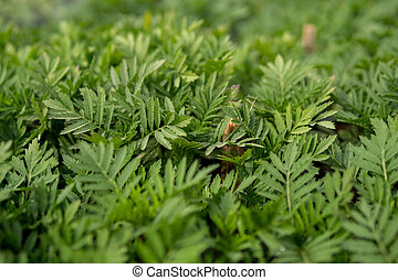tagetes leaves