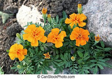 tagetes, marigold), patula, (the, francouzština