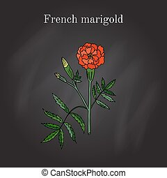 Tagetes, or french marigold, hand drawn botanical vector...