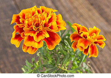 Tagetes patula - French marigold flower close up on wooden ...