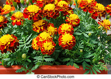 Tagetes patula french marigold in bloom, orange yellow flowers, green leaves