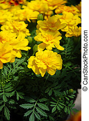 Tagetes patula french marigold in bloom, yellow flowers, green leaves