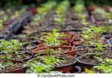 tagetes plant breeding