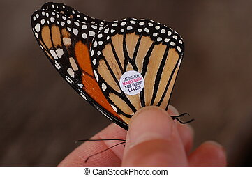 Tagged Monarch Butterfly Closeup