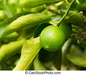 Tahitian or Persian Lime fruit growing in plantation in Kauai