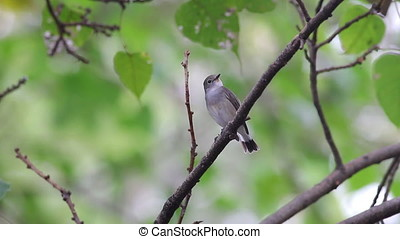 Taiga Flycatcher Ficedula albicilla Beautiful Male Birds of...
