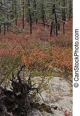 taiga forest in Yakutia