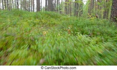taiga - green foliage in forest .taiga