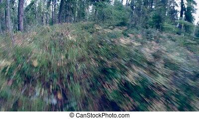 .taiga - green foliage in forest .taiga