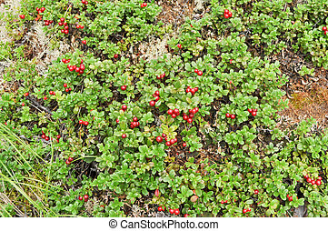 Taiga vegetation on soil, ripe cranberries.