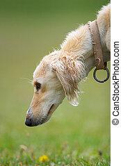 Taigan (Kyrgyz borzoi) dog head