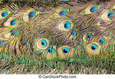 Tail feathers of male peacock with colorful eyes