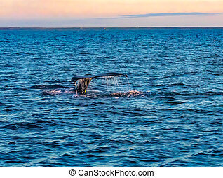 Tail fin of Humpback Whale diving in the sea
