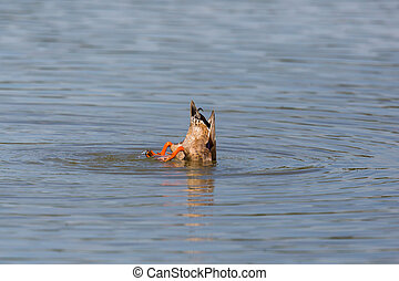 tail of natural dabbling duck while feeding from the bottom (anas platyrhynchos)