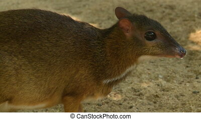 Handheld, close up shot of a chevrotain. The camera scans from tail to head.