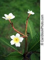 tailandés, flores