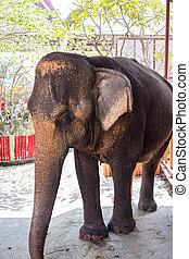 tailandia, ayutthaya, elefanti