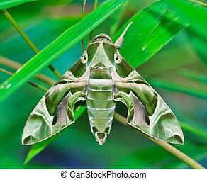 tailandia, moth-guard, envuelve, asia, mes