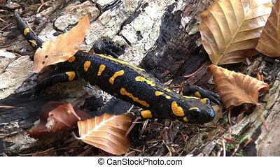 Tailed amphibian, fire salamander