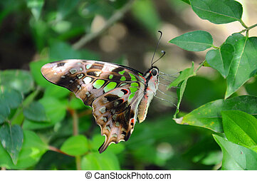 Tailed jay butterfly in the garden