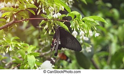 Papilio bootes specimen, clinging to a tiny white flower on a shared bush at a popular butterfly park. 4k footage 2160p