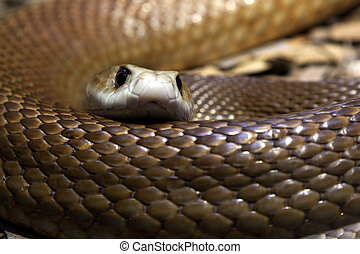 Taipan's stare - Close up of a Taipan's head and body - One ...