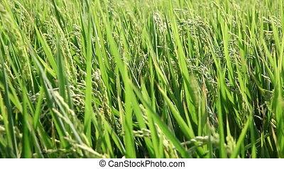 rice field - Taiwan rice field
