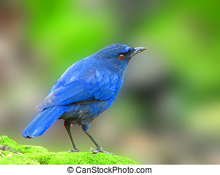 Taiwan Whistling Thrush stand on a rock in summer