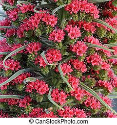 tajinaste rojo closeup - endemic Tenerife flower , Canarian Islands, Spain