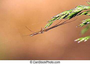 takács, gömb pók, long-jawed