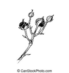 tak, getrokken, schets, roos, inkt, knoppen, bloem, hand