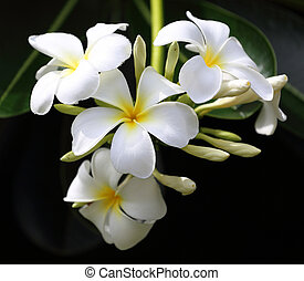 tak, van, tropische bloemen, frangipani, (plumeria)