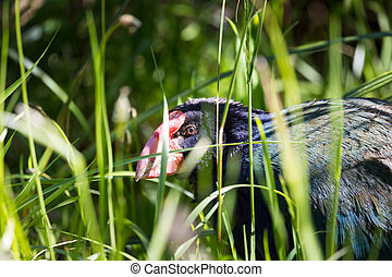 Takahe, (porphyrio hochstetteri) a rare native bird of New Zealand once thought to be extinct, scratching around for food