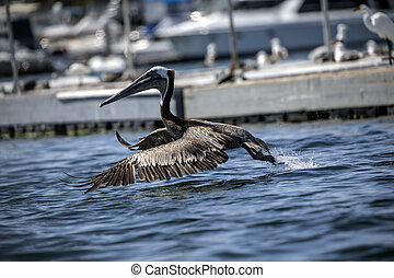 Take off - Brown Pelican about to lift off from the water