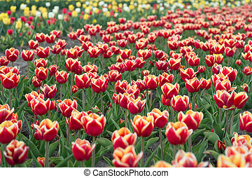 Take you flower. beauty of blooming field. famous tulips festival. Nature Background. group of holiday tulip flowerbed. Blossoming tulip fields. spring landscape park. country of tulip