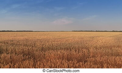 Takeoff and Flying Over Wheat Field - Aerial shot: Takeoff...