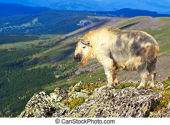 Takin in wildness area - Takin (Budorcas taxicolor) in...