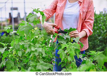 Taking care of blackcurrant