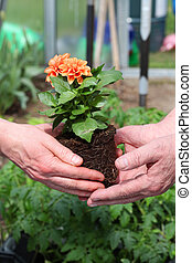 Taking care of dahlia - Gardeners takes care of dahlia...