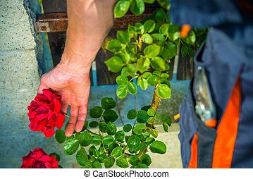 Taking Care of Roses