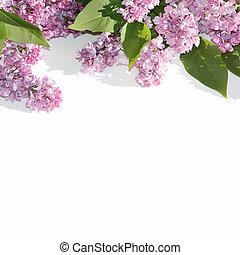 takken, van, bloeien, seringen