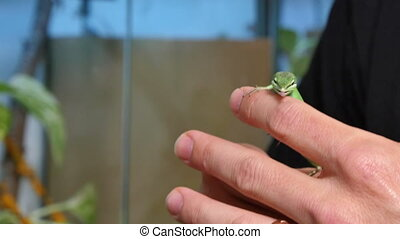 Takydromus Dorsalis Lizard Reptile - Commonly called grass...