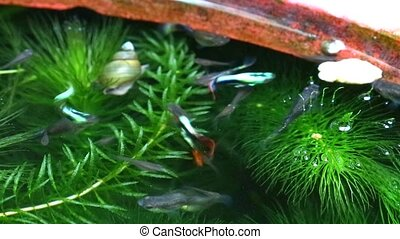 talál, lágy, eszik, úszás, összpontosít, guppies, fish,...