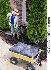 talajtakarás, senior woman, mindenfelé, arborvitaes